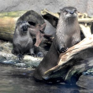 Extensive renovations at the Roanoke Island Aquarium have left the otter exhibit alone.