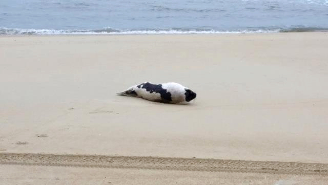 Seal on the beach in Nags Head.