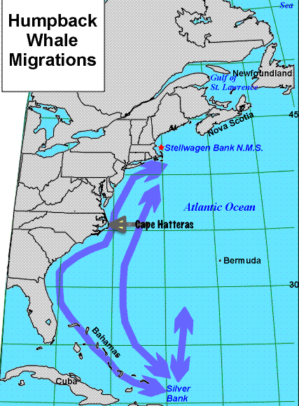 Humpback Whale migration patterns. Note how close to the Outer Banks the whales come.