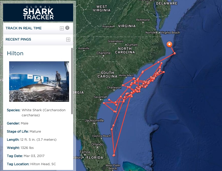 Hilton The Shark Heads North From Outer Banks Joe Lamb Jr Associates