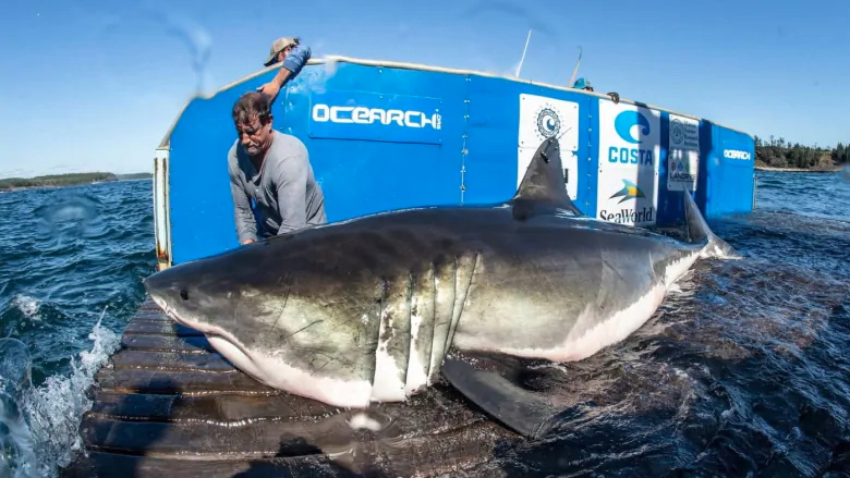 "Hal, a 12'6"" great white shark named after the people of Halifax, Nova Scotia is tagged by an OCEARCH scientist. Hal recently pinged off the Outer Banks coast."