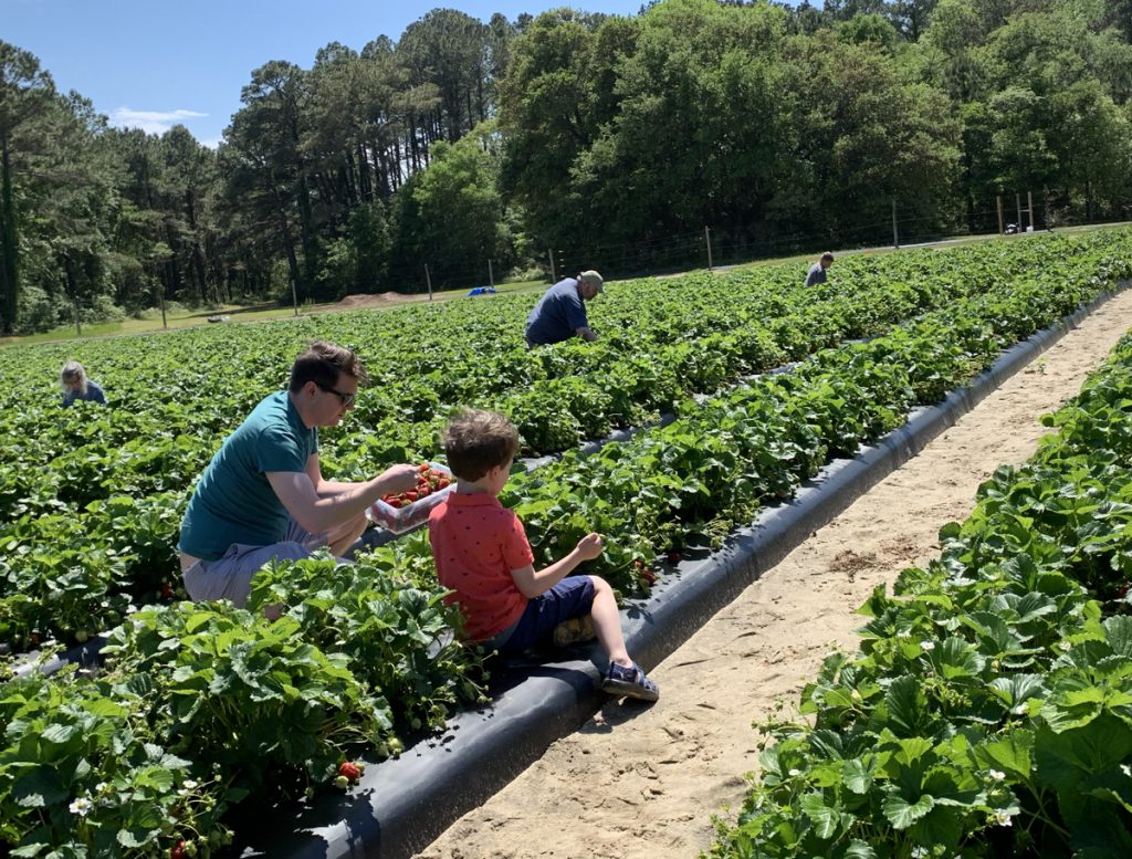 Picking fresh strawberries at the Malco's strawberry patch just north of the Wright Memorial Bridge.