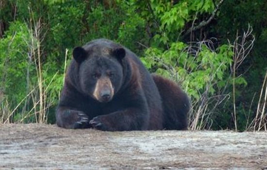 A black bear resting at Alligator River National Wildlife Refuge.