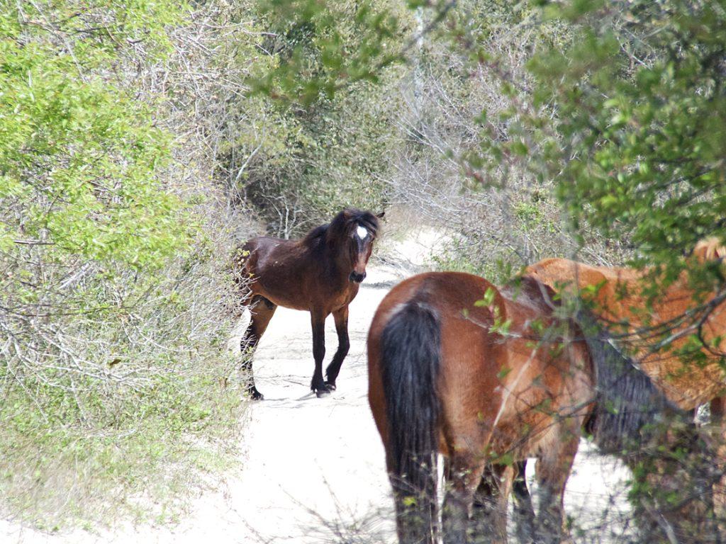Corolla Wild mustangs grazing in the 4WD area for Carova.