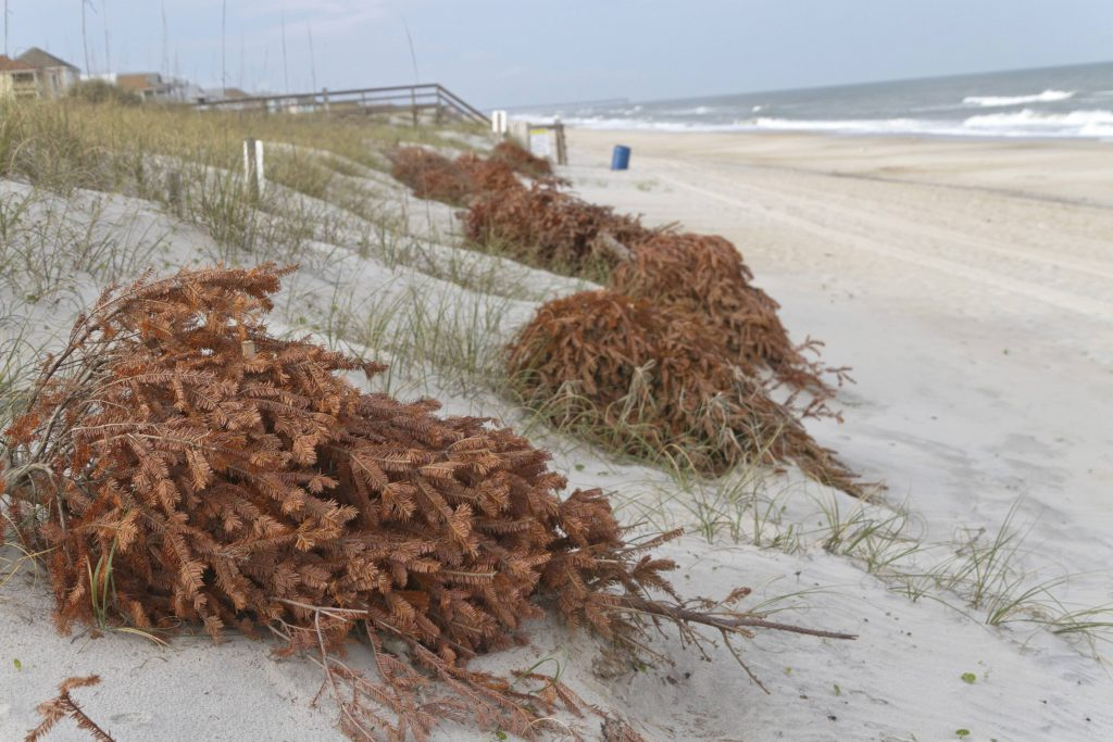 Recycled Christmas trees strategically placed on the beach to help fight erosion and ensure the dunes stay healthy in the Outer Banks NC.