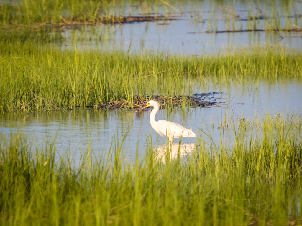 White heron standing in the grass, water, at a reserve
